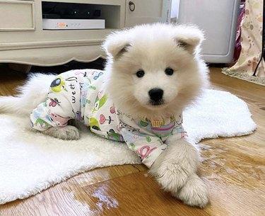 samoyed in pajamas