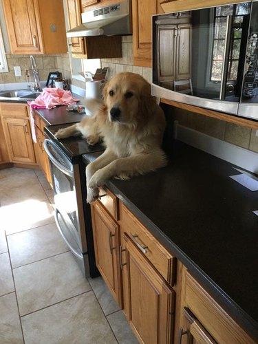 golden retriever sits on kitchen counter