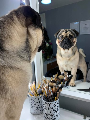 pug dog stares at self in mirror