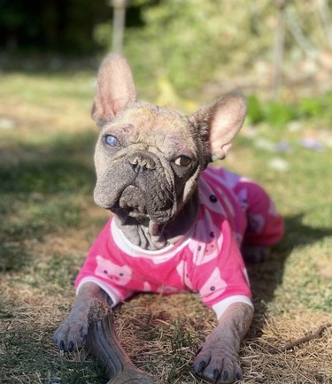 dog in pink pajamas