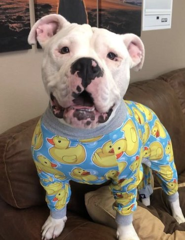 dog in duck pajamas