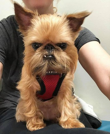 Brussels Griffon looks guilty of something