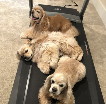 dogs on treadmill
