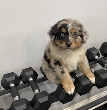 dog on weights