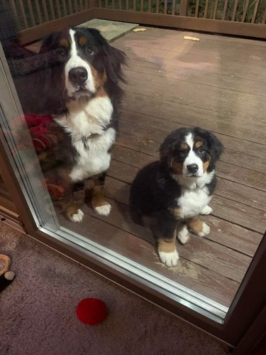 Adult and puppy Bernese mountain dogs sitting outside glass door