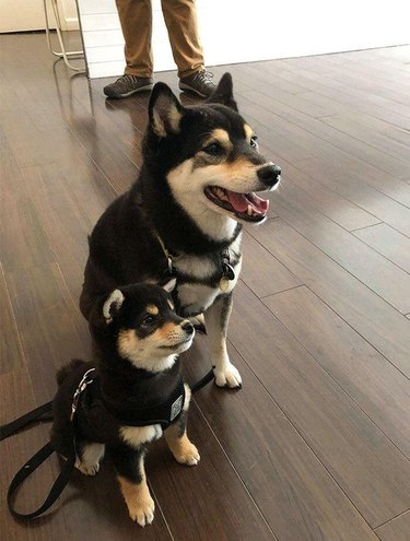 Matching adult and puppy Shiba Inus with black and tan coloring