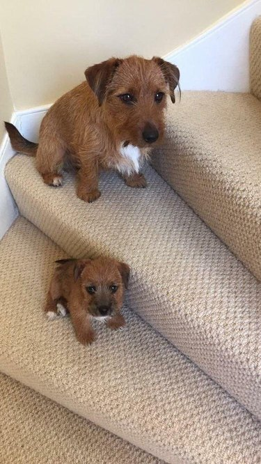 Small brown terrier sitting on staircase, matching puppy sitting on step below