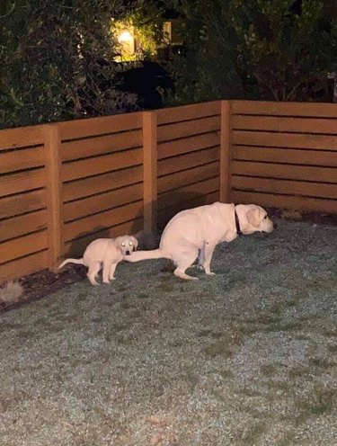 Adult and puppy yellow Labradors pooping simultaneously in fenced backyard