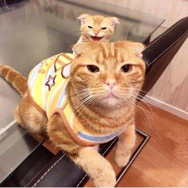 Orange striped Scottish fold cat with matching kitten