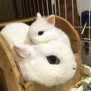 White rabbit with matching baby