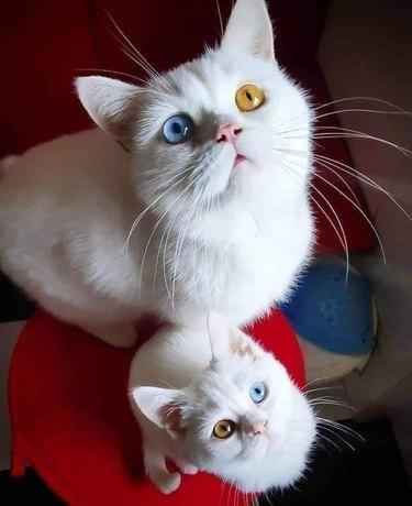White cat with blue/yellow heterochromia next to white kitten with yellow/blue heterochromia