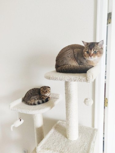 Matching cat and kitten in same position on side-by-side cat trees
