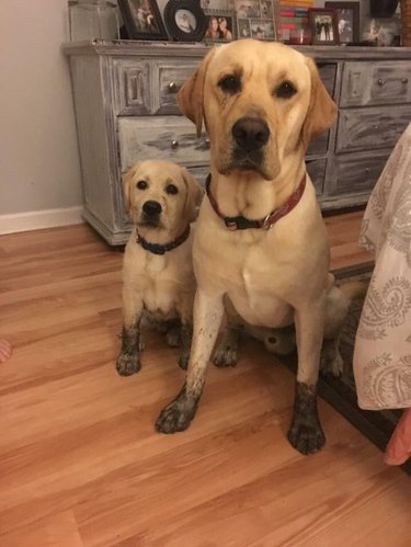Adult and puppy yellow labradors with matching muddy paws