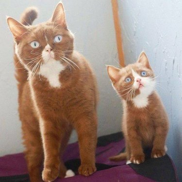 Orange and white cat with orange and white kitten