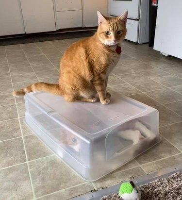 cat traps other cat in plastic bin