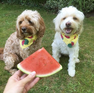 two dogs looking at watermelon slice