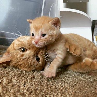 adult cat snuggles baby cat