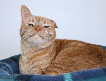 smug cat with ear bent down