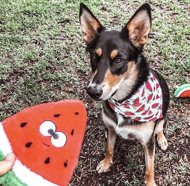 dog looking at plush watermelon toy
