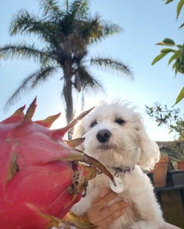 dog looking at dragonfruit