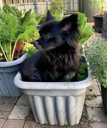 dog inside garden pot