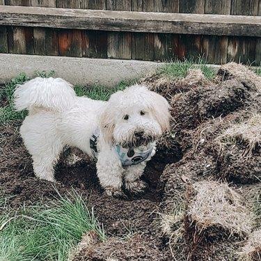 dog digging up garden