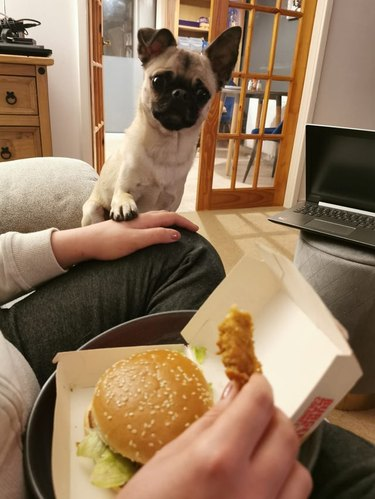 Pug putting paw on hand of person eating fast food with other hand