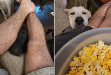 Two dogs leaning on couch to beg for popcorn