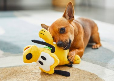 Chihuahua playing with Disney Pluto plush toy.
