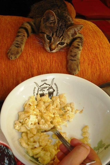 Kitten looking longingly at plate of food