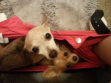 Two small dogs sitting in shorts between feet of person sitting on toilet.