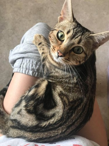 Cat sitting on lap of person on toilet.