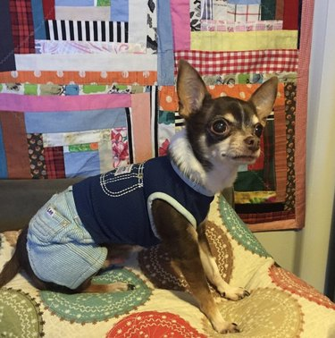dog in blue jeans