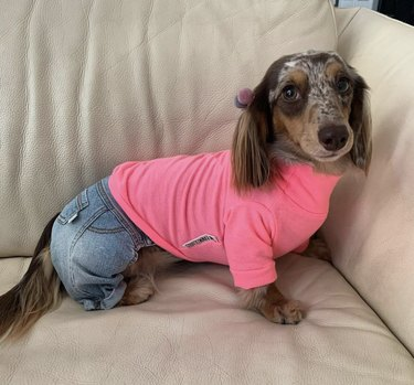dog in jeans