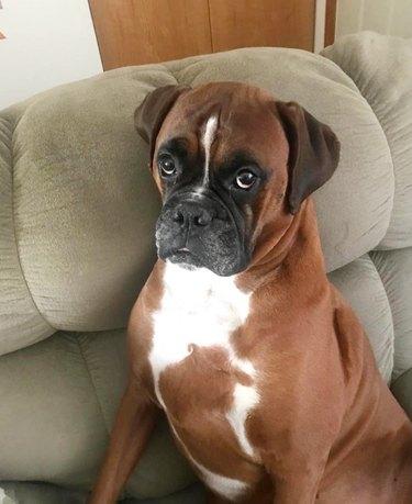 guilty boxer dog steals peanut butter