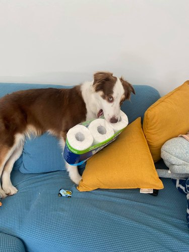 dog steals toilet paper
