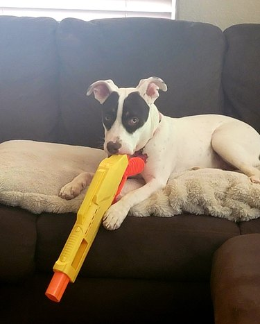 dog poses with toy gun