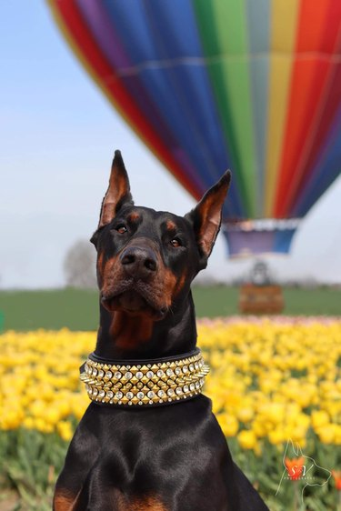 dog poses in front of hot air balloon for epic photo