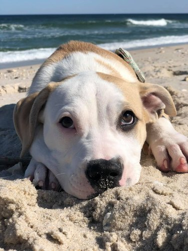 dog poses for photo in sand
