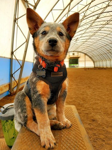 cute dog participates in model challenge