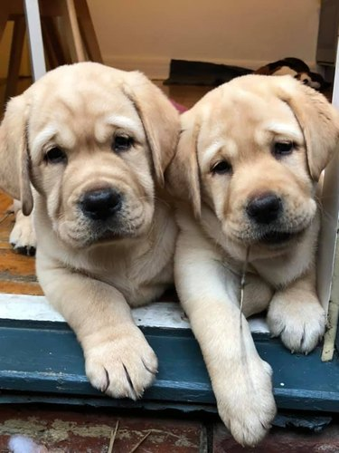 puppies pose for picture