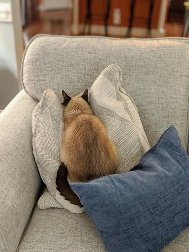 Cat sitting on couch with its face pressed into a pillow