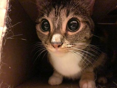 cat with huge pupils