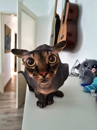 hairless cat with dilated pupils