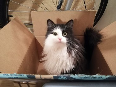 long-haired cat in box