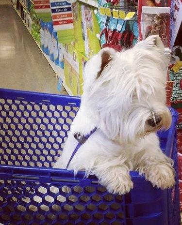 dog inside shopping cart