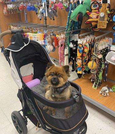 dog inside stroller at a store