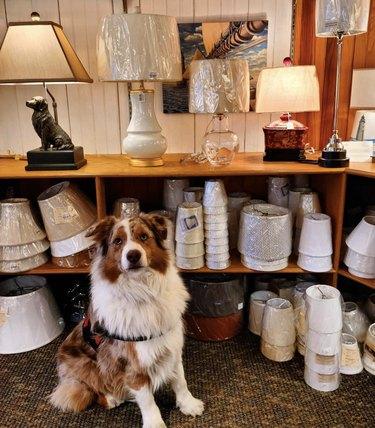 dog inside lamp store
