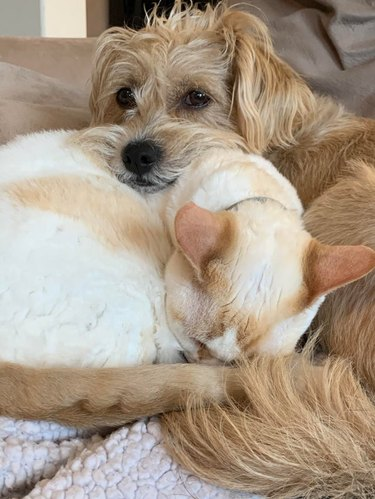 Dog cuddling with white and tan cat