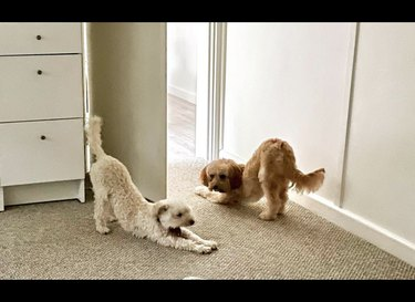 two dogs in downward dog